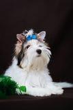 Decorações do yorkshire terrier e do Natal de Biewer Fotografia de Stock Royalty Free