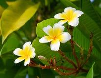 Decoración de la flor del Plumeria Imagen de archivo libre de regalías