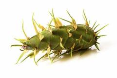 Decoración de la Navidad - conos verdes jovenes de la ISO del árbol de abeto de douglas Imagenes de archivo