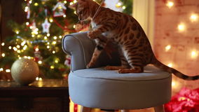 Decoración de la Navidad del gato de Bangal almacen de video