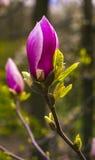 Decoración de pocas flores de la magnolia Flor rosada de la magnolia Magnol Imagen de archivo libre de regalías