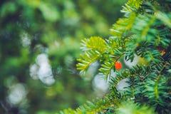 Decoración del abeto de la Navidad con las bayas rojas Imagen de archivo libre de regalías