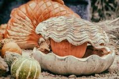 Decoración del día y de Halloween de la acción de gracias Tallando de la calabaza, concha marina con la perla Otoño, fondo de la  Foto de archivo libre de regalías