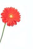 Decoración roja de la margarita del Gerbera Fotografía de archivo