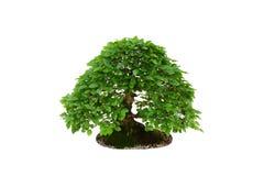 Decoración casera - árbol de los bonsais del carpe aislado en blanco Foto de archivo