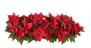 Decoraciones de la Navidad - Poinsettia rojo Imagenes de archivo
