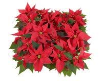 Decoraciones de la Navidad - Poinsettia rojo Foto de archivo