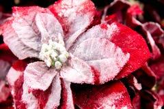 Decoraciones de la Navidad - rojas y poinsetia blanca Imagenes de archivo