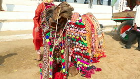 Decorate camel stock video footage