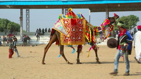 Decorate camel stock footage
