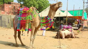 Decorate camel stock video