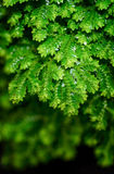 Decorate plant. Selaginella leaf with close up techinque Royalty Free Stock Image