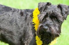 Decorated Black Miniature Schnauzer Dog Royalty Free Stock Image