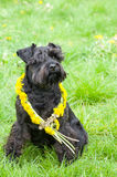 Decorated Black Miniature Schnauzer Dog Royalty Free Stock Images