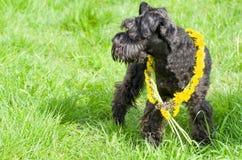 Decorated Black Miniature Schnauzer Dog Stock Images