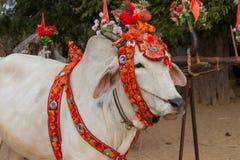 Decorated buffalo. Bagan, Myanmar. Close up Royalty Free Stock Image