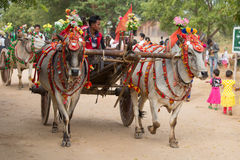 Decorated buffalo and local people who participated in the donation channeled ceremony in Bagan. Myanmar, Burma Royalty Free Stock Photography