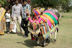 Decorated bull-pongal hindu festival Stock Image