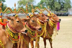 Decorated Bulls for Madura Bull Race, Indonesia Stock Photos