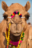 Decorated Camel Royalty Free Stock Image