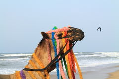 Decorated Camel. Stock Image