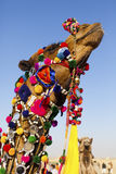 Decorated camel at Desert Festival Stock Images