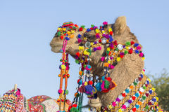 Decorated camel at Desert Festival in Jaisalmer, Rajasthan, India. Close up Royalty Free Stock Photo