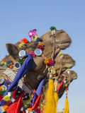 Decorated camel at Desert Festival in Jaisalmer, Rajasthan, India. Close up Royalty Free Stock Photos