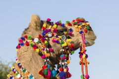 Decorated camel at Desert Festival in Jaisalmer, Rajasthan, India. Head camel close up Stock Images