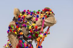 Decorated camel at Desert Festival in Jaisalmer, Rajasthan, India. Head camel close up Stock Photography