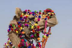 Decorated camel at Desert Festival in Jaisalmer, Rajasthan, India. Head camel Stock Photos