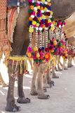 Decorated camel at Desert Festival in Jaisalmer, Rajasthan, India. Camel`s feet. Close up Stock Images
