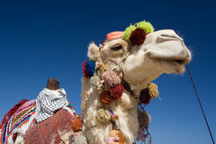 Decorated Camel in Egypt stock images