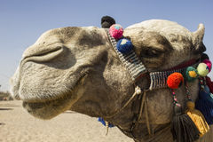 Camel face Royalty Free Stock Photo
