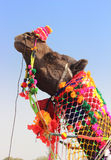 Decorated camel during festival in Pushkar India. Pushkar Camel Fair - decorated camel during festival in Pushkar India Stock Photo