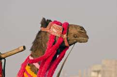 Decorated camel head in asia Royalty Free Stock Photos