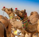 Decorated camel at the Pushkar fair - India Royalty Free Stock Photo