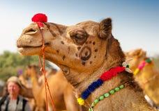 Decorated camel at the Pushkar fair - India Stock Image