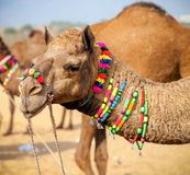 Decorated camel at the Pushkar fair. Rajasthan, India. Asia Royalty Free Stock Photos