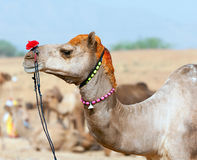 Decorated camel at the Pushkar fair. Rajasthan, India, Asia Stock Images