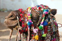 Decorated camel at the Pushkar fair. Rajasthan, India, Asia Royalty Free Stock Photography