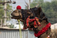 Decorated camel's head. Against an urban background Royalty Free Stock Photo