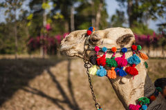 Decorated Camel Royalty Free Stock Photo