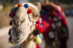 Decorated Camel Stock Photography