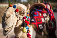 Decorated Camel Stock Photos