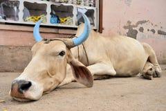 Decorated cattle in Pushkar, India Stock Image