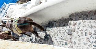 Decorated donkeys on the steep narrow street of Santorini (Oia), Greece Stock Images