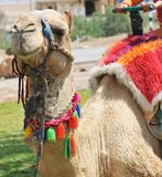 Decorated Dromedary Camel Royalty Free Stock Photography