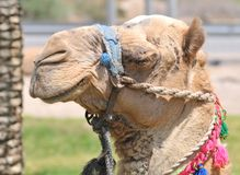 Decorated Dromedary Camel Head Stock Photos