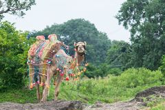 Camel. Decorated Festival Camel standing near the Pasture Stock Image